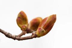 Germogli rossastri del ramoscello dell'albero su fondo bianco Macro ramo della pianta di giardino di vista, prima foglia Vita nuo Fotografia Stock