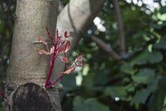 Germogli rossi in primavera Fotografia Stock Libera da Diritti