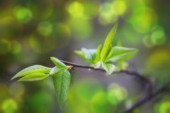 Germogli sboccianti in primavera su un ramo di albero Immagine Stock Libera da Diritti