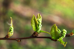Germogli sboccianti in primavera su un ramo di albero Fotografia Stock Libera da Diritti