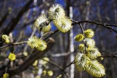 Germogli sboccianti in primavera su un ramo di albero Immagini Stock