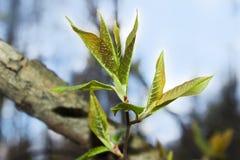 Germogli sboccianti in primavera su un ramo di albero Fotografie Stock Libere da Diritti