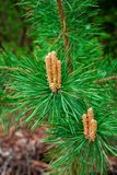 Germogli sui rami del pino Fotografia Stock Libera da Diritti