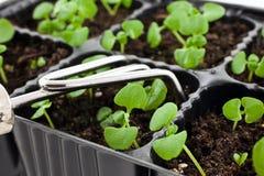 Germogli verdi che crescono dal terreno con il rastrello d'acciaio Fotografia Stock