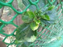 Germogli verdi del germoglio di fiore con le foglie sull'angolo del ramo Fotografie Stock