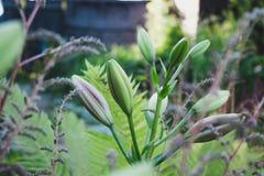 Germogli verdi del giglio nel giardino fotografia stock
