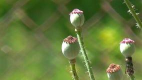 Germogli verdi del papavero Un altro germoglio del papavero stock footage