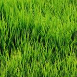Germogli verdi del riso Fotografia Stock Libera da Diritti