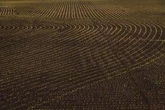 Germogli verdi freschi che crescono nel campo fotografia stock