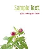 Germogli viola della pianta - concetto ambientale Fotografia Stock