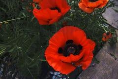 Germoglia i grandi, bei fiori rossi fioriscono in mezzo dei campi nei colori pastelli Immagine Stock