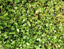 Germoglia il crescione in un suolo privo di proprietà terriera da garza bagnata, crescita idroponica a casa fotografia stock libera da diritti