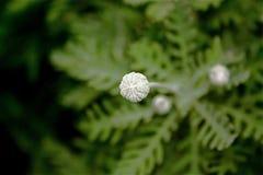 germoglia il fiore cinese Fotografie Stock