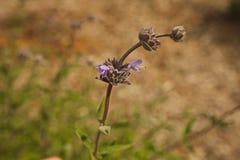 Germoglia il wildflower porpora fotografia stock