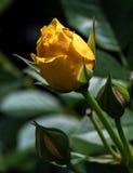 Germogliamento della rosa di giallo Fotografie Stock