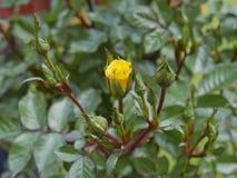 Germogliamento della rosa di giallo Fotografia Stock