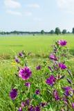 Germogliamento e porpora che fioriscono le piante dell'alta malva Fotografia Stock Libera da Diritti