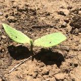 Germogliando il plantlife in sporcizia del giardino dà segni della primavera Immagini Stock Libere da Diritti