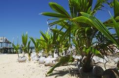 Germogliare delle piantine della noce di cocco Fotografia Stock