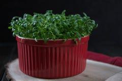 Germogliare fresco del crescione pronto per insalata Alimento vegetariano sano immagine stock libera da diritti