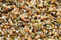 Germogliare il preparato delle lenticchie Fotografia Stock