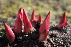 Germogliare le piante con sfondo naturale Giovani germogli luminosi della peonia nel giorno di molla soleggiato germogli rossi di fotografia stock libera da diritti