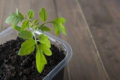 Germogliare le piantine del pomodoro nella serra Concetto di giardinaggio della primavera E immagini stock libere da diritti