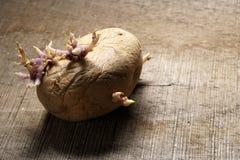 Germogliare patata, solanum tuberosum su fondo di legno Fotografia Stock Libera da Diritti