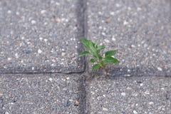Germogliato attraverso un fiore della lastra di cemento armato immagini stock libere da diritti