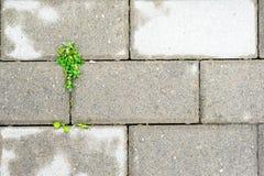 Germogliato attraverso una pianta della lastra di cemento armato immagini stock