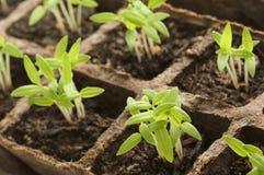 Germogliatura Plants34 Fotografia Stock Libera da Diritti