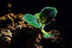 Germoglio Fotografia Stock