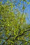Germoglio 3 della betulla Fotografia Stock