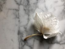 Germoglio appassito dell'orchidea immagine stock