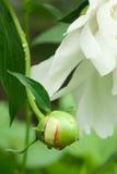 Germoglio bianco della peonia con le goccioline di acqua Fotografie Stock Libere da Diritti