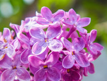 Germoglio con i fiori lilla Fotografie Stock