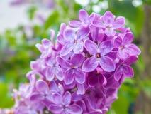 Germoglio con i fiori lilla Fotografie Stock Libere da Diritti