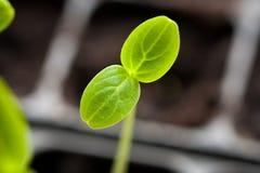 Germoglio dei giovani con la foglia verde che cresce dal suolo Immagine Stock