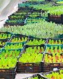 Germoglio dei tulipani Fotografia Stock Libera da Diritti