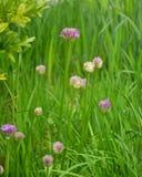 Germoglio del aflatunense dell'allium contro un'erba Fotografie Stock