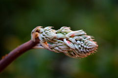 Germoglio del cactus Immagine Stock
