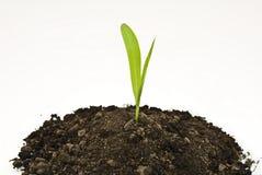 Germoglio del cereale in terreno fotografia stock libera da diritti