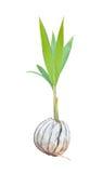 Germoglio del cocco Immagine Stock