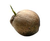 Germoglio del cocco isolato su bianco Immagini Stock