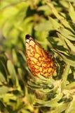 Germoglio del cono della pianta verde Immagini Stock Libere da Diritti