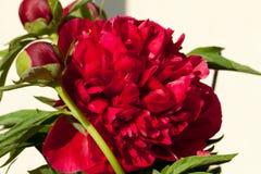 Germoglio del fiore della peonia. Fotografie Stock
