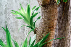 Germoglio del gagnep di loureiri della dracaena delle foglie verdi adatto a BAC Immagine Stock Libera da Diritti