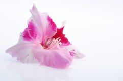 Germoglio del Gladiolus Fotografie Stock Libere da Diritti