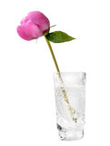 Germoglio del Peony, fiore del Peony con il percorso di residuo della potatura meccanica Fotografie Stock