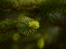 Germoglio del pino fotografia stock